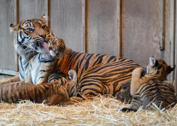 sumatran-tiger-cubs-mom